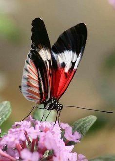 Ein Schmetterling in den Farben Rot und Schwarz, mit einem Hauch Schneeweiß, zum verlieben schön!
