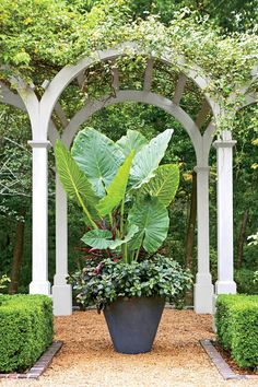 Mega Style - Summer Container Gardens We're Obsessing Over - Southernliving. Add some mega flora to your container design this year. Go big or go home in terms of scale, as we did with these elephant's ears.
