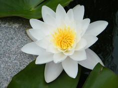 """White Water Lily with White & Gray Rock"""