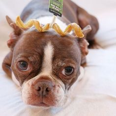 Bean the Boston is looking mighty cute with our mini bully spring! We created our mini size line so that dogs of every size could enjoy our products. (: @beanparty.yodabash)