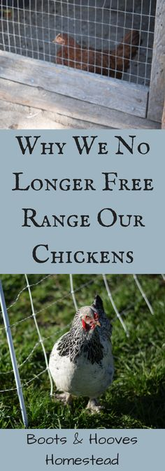 Why We No Longer Free Range (and what we are doing instead) - Boots & Hooves Homestead