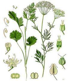 anice verde  usato per produrre liquori, medicinali ed aromi in genere usati in farmacia ed in pasticceria.