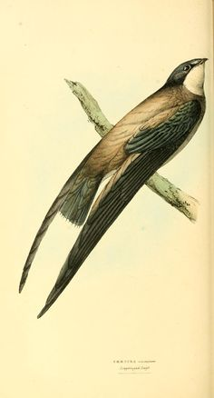 v. 1 - Zoological illustrations, or, Original figures and descriptions of new, rare, or interesting animals, selected chiefly from the classes of ornithology, entomology, and conchology, and arranged according to their apparent affinities. - Biodiversity Heritage Library
