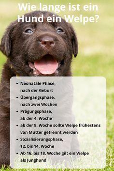 Wie lange ist ein Hund ein #Welpe? #Entwicklungsphasen, vom Welpen zum #Junghund #Prägung #Sozialisierung #Neonatal