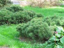 Kääpiövuorimänty - Pinus mugo ´Pumilio´