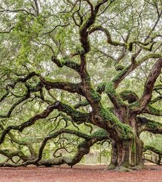 20 Real-World Places That Are Straight Out of Fairy Tales Angel Oak: Charleston, South Carolina<br> Happily ever after is just a plane ride away. Angel Oak Trees, Tree Angel, Magical Tree, Old Trees, Old Oak Tree, Unique Trees, Tree Roots, Tree Photography, Tree Forest