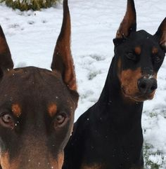 Classy Issues Inspo by Mux Jasper Doberman Puppies, Doberman Pinscher Dog, Chien Dobermann, Cute Puppies, Cute Dogs, Black Doberman, Baby Animals, Cute Animals, Handmade Dog Collars