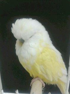 Parakeets Talking ;)