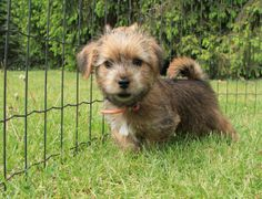 10 weeks old norfolk terrier puppy. The cutest thing ever!