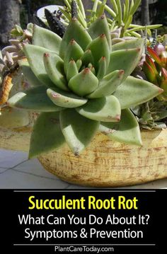 Succulent Root Rot is caused by bacterial and fungal infections but usually by overwatering, when plant roots stay wet for an extended period of time the process begins with rotting roots. How To Water Succulents, Baby Succulents, Growing Succulents, Growing Herbs, Planting Succulents, Succulent Landscaping, Succulent Soil, Succulent Ideas, Inside Plants