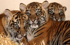 Three cubs born to eight-year-old Sumatran tiger Setia make their first public appearance at the Perth Zoo in Australia