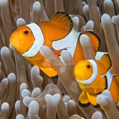 Originating in the Indian Pacific, Clownfish are a marine fish that can grow up to & live for For free Clownfish care sheets, visit our website. Decor Interior Design, Interior Decorating, Orange Fish, Clownfish, Marine Fish, Anemones, Aquariums, Aquarium Fish, Fish Tank