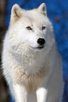 to ] Great to own a Ray-Ban sunglasses as summer gift.☀Arctic Wolf by kingarfer* Wolf Photos, Wolf Pictures, Animal Pictures, Wolf Husky, Wolf Pup, Beautiful Creatures, Animals Beautiful, Cute Animals, Wolf Spirit