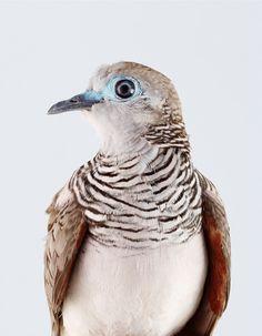 Peaceful dove, photographer Leila Jeffreys