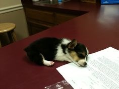 Darcy's first day home — she fell asleep on the vet's table after the exam.