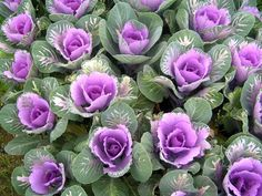 Ornamental cabbage comes in this purple and also a pretty pink and white. Some blooms are big-like a cabbage. Others are small and petite-good for bouquets and small arrangements. Bulb Flowers, Flowers Nature, Growing Flowers, Planting Flowers, Ornamental Cabbage, Fall Wedding Flowers, Wedding Bouquets, Fall Plants, Seasonal Flowers