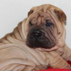 Beautiful Chinese Shar-Pei pup