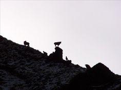 Tahr like high, rocky ridges! Trophy Hunting, Travel Brochure, Animal Games, Sport Fishing, New Zealand, Animals, Animales, Animaux, Animal