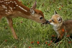 How many other times will you see this in your life? Baby deer + Baby Fox. - Imgur