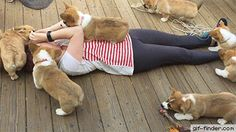 When Vicious Corgis Attack! | Gif Finder – Find and Share funny animated gifs