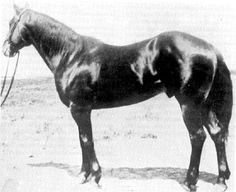 Joe Hancock, 1923 brown Quarter Horse, match race sensation from TX, known as a leading sire of roping horses.