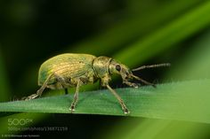 Green Nettle Weevil by Moneycue. @go4fotos