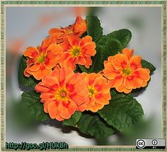 primula-narancs-2013-03-06-http---goo.gl-HUkBh by BerczikAndrea, via Flickr