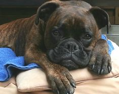 Boxer baby...just look at it's sweet face.