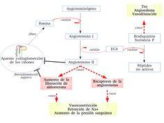 Cascada enzimática La renina es liberada por los riñones y pasa a la sangre donde ejerce su función como proteasa. Actúa sobre el angiotensinógeno, un péptido producido por el hígado, convirtiéndolo en angiotensina I. Éste se compone de 10 aminoácidos (lo que se denomina decapéptido) y necesita la acción de la enzima convertidora de la angiotensina (ECA) para convertirse en angiotensina II.