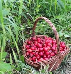 Cherry picking season. Cherries from my garden, picked last weekend. Photograph by Cinzia Carboni