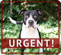 Pictures of Bear a American Pit Bull Terrier Mix for adoption in Decatur, GA who needs a loving home.