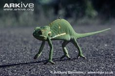 Flap-necked chameleon crossing hot road - with a grasshopper riding along