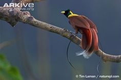 Taking its name from the elongated train of glossy red feathers in the tail, the male red bird-of-paradise is both beautiful and unusual in appearance. The feathering around the face and throat is...