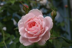 "Pink Rose ""Nahema"""