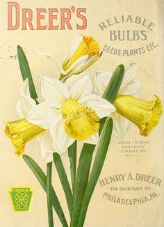 004-Narcissus ...
