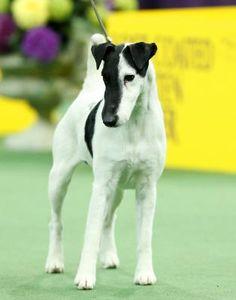 Fox Terrier #Black and White #Westminster dog show - Photos - UPI.com
