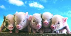 Bunches of Teacup Pigs