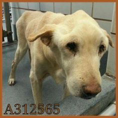 Emaciated Labrador retriever in dire need of a few good meals and a new friend. Poor thing!