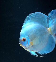 Blue diamond discus for Discus fish price