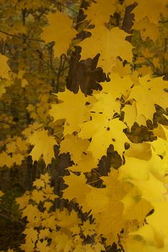 Once upon a time my husband and I were riding through the mountains and came upon a yellow forest...I begged him to stop...we were in awe...seem to not be able to get enough...we've look for this yellow forest and have never been able to locate it again. Though somewhat sadden, just the fact we seen it once was a blessing.