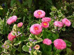 Spring, daisies