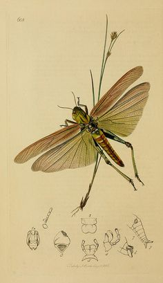 Insect engravings by BioDivLibrary, via Flickr