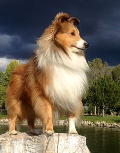 Scottie grew up to look just like this!  #Sheltie