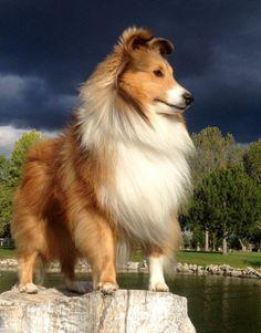 sheltie #Dog #Puppy #Hound #Chien #Perro #hond #hund #Cane #Koira #Dogs #Puppies #Pup #Pooch Shetland Sheepdog