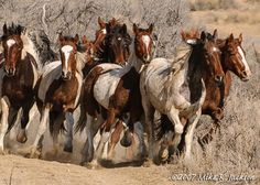 Wild Horses, Rock Spring WY my favorite place in the whole world!! LOVE thundering hooves !!!