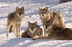 Animals For > Pack Of Coyotes