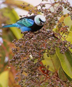 Photo Masked Tanager (Tangara nigrocincta) by Marcelo Camacho | Wiki Aves - The Encyclopedia of Brazilian Birds