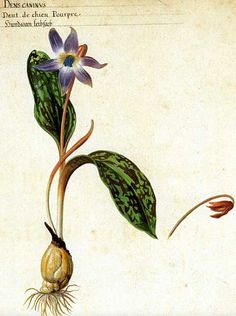 Botanical - Dogtooth Violet or Erythronium dens-canis, by Pieter van Kouwenhoorn, a Dutch glass painter who was active in the 1630s.