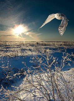 Sneeuw Uil