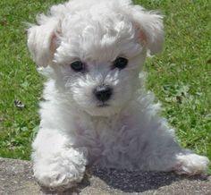 Bischon Frise puppy